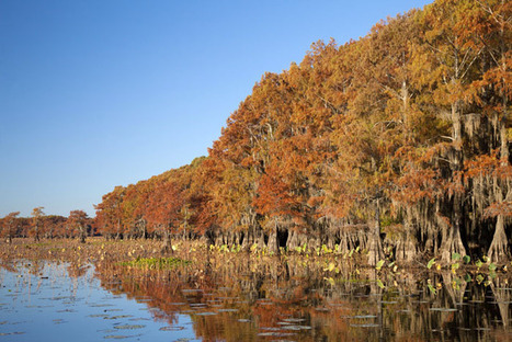 Bald cypress can grow to 1,200 years old   Mary Ann's Nature Articles from The Hutto News   Scoop.it