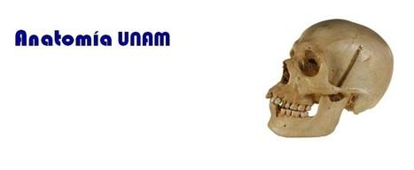 Anatomía UNAM: Linfático | Fisiología del tejido linfoide y otros órganos copartícipes de las respuestas inmunologías  del organismo como:  Bazo, Timo, Ganglios Linfáticos. | Scoop.it