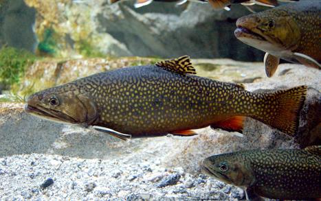 5-13 Aprile: Caccia al salmerino più grosso | Pescare e la Pesca Sportiva | Scoop.it