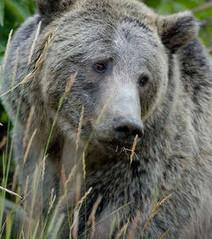Yellowstone: Une bourde humaine a complètement bouleversé la chaîne alimentaire   694028   Scoop.it