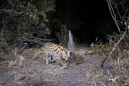 Namibia's wildlife caught by camera trap - in pictures   Oceans and Wildlife   Scoop.it