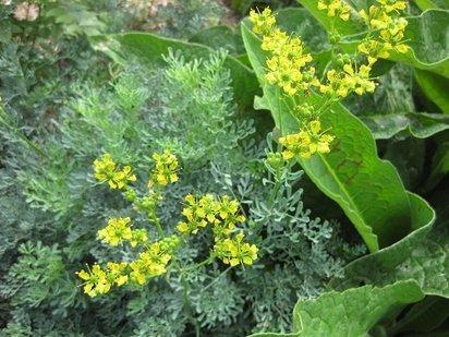 La Ruda ( Ruta graveolens)   ECOLOGIA Y SALUD: Plantas aromáticas y medicinales.   Scoop.it