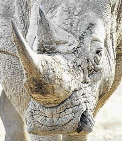 Rhino Rip-Off! Donor Beware! | What's Happening to Africa's Rhino? | Scoop.it
