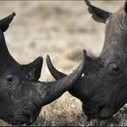 RHINO POACHING REACHING STAGGERING PROPORTIONS | Save our Rhino and all animals...this is what it looks like!!!!! | Scoop.it