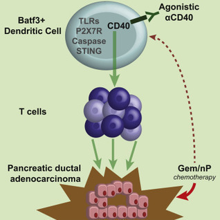 CD40 Stimulation Obviates Innate Sensors and Drives T Cell Immunity in Cancer | Immunology and Biotherapies | Scoop.it