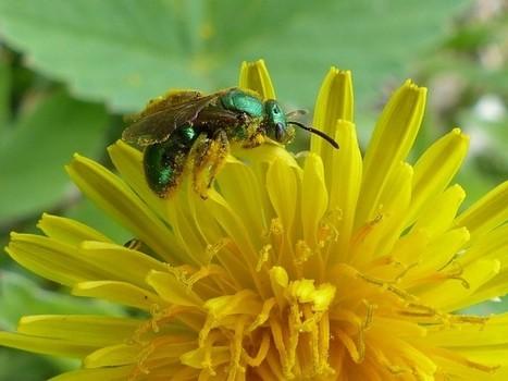 Photo d'Hyménoptère : Abeille verte métallique - Halictidae - Halictes   Fauna Free Pics - Public Domain - Photos gratuites d'animaux   Scoop.it