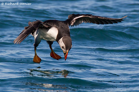 Plenty of #fish in the sea? #Seabird breeding highlights impact of commercial fisheries in the #NorthSea ~ #surfbirds | Rescue our Ocean's & it's species from Man's Pollution! | Scoop.it