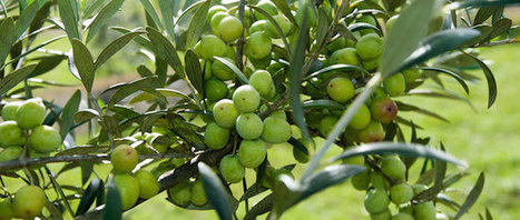 Deli news is out - Portuguese olive oil story. | Deli news - Visit Portugal by flavours | Scoop.it
