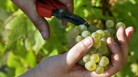 Vin de Paille : les vendanges démarrent aujourd'hui pour certaines ... - Francetv info | Le Vin en Grand - Vivez en Grand ! www.vinengrand.com | Scoop.it