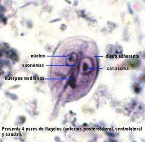 GIARDIASIS ó GIARDIOSIS - Recursos en Parasitología - Departamento de Microbiología y Parasitología - Universidad Nacional Autónoma de México | Giardia lamblia | Scoop.it