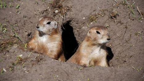 How the prairie dog could help restore the ancient grasslands of Mexico and ... - PRI | rangelands | Scoop.it
