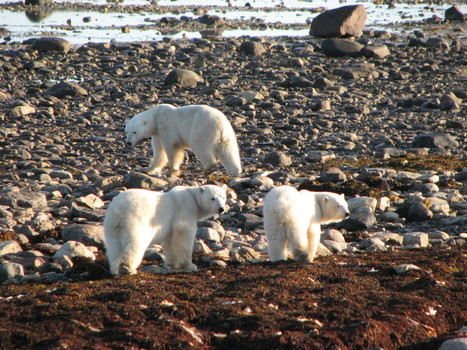 Polar #Bears don't belong in captivity - The Manitoban. Why do we humans love to play the role of God? | Titan Explores | Scoop.it