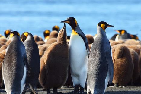 Blog officiel du district de #Crozet - #TAAF : Photo de la semaine 30 - #manchot royal | Arctique et Antarctique | Scoop.it