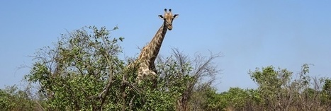 The Iconic Giraffe, so Beloved yet Under Existential Threat | Human-Wildlife Conflict: Who Has the Right of Way? | Scoop.it