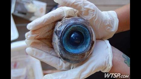 Giant mystery eyeball found on Florida beach has scientists baffled   The Billy Pulpit   Scoop.it