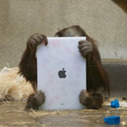 Apps for Apes: Orangutans using iPads to paint and video chat with other apes | A Sense of the Ridiculous | Scoop.it