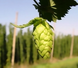 Glossary: Hops - InsidersHealth.com | Health Glossary | Scoop.it