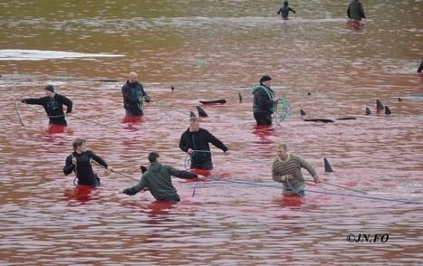 200 grindhvaler slaktet på Færøyene i dag | News on the World from a Nordic view | Scoop.it
