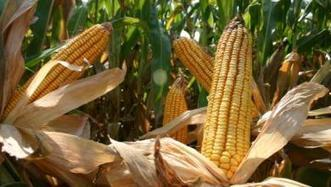 Rationale for EPA Renewable Fuel Standard proposal questioned | Government content from Delta Farm Press | oilseed | Scoop.it