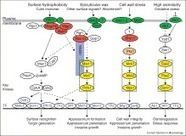 ScienceDirect.com - Current Opinion in Microbiology - Genetic control of infection-related development in Magnaporthe oryzae   Plant-Microbe Interaction   Scoop.it