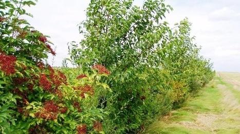 Cop21 et agriculture Les haies sont aussi bonnes pour le climat que leslégumineuses ou intercultures | Agriculture | Scoop.it