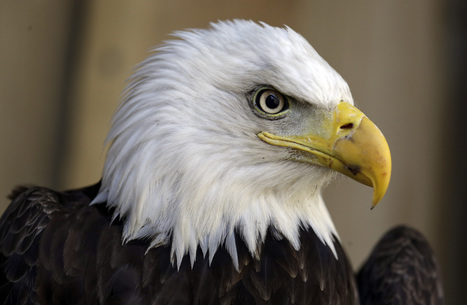 Wind energy company pleads guilty to eagle deaths | Renewable Energy, Waste Minimization & Recycling | Scoop.it