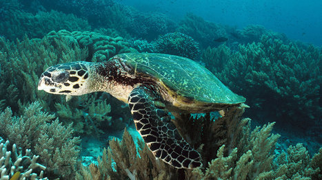 Old Nuclear Fallout Proves Useful for Sea Turtle Clues | Coastal Restoration | Scoop.it
