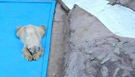 World's Saddest Polar Bear Dies After 22 Years In Concrete Pit | Nature Animals humankind | Scoop.it