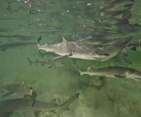 Study confirms sharks return to their own birth... | Amocean OceanScoops | Scoop.it