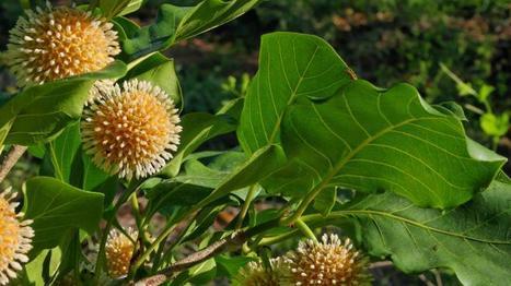 Une molécule antidouleur produit par un arbuste africain | Opportunités à MT | Scoop.it