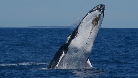 Highest number of humpback whales in more than 50 years | Saving Right Whales | Scoop.it