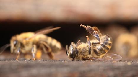 Pyrénées. La mortalité des abeilles a atteint un seuil catastrophique.   Abeilles, intoxications et informations   Scoop.it