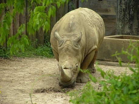 Africa's Western Black Rhino is Now Officially Extinct | Environnement | Scoop.it