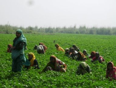 Farmers Bet on Climate-Proof Crops | Agricultural Biodiversity | Scoop.it