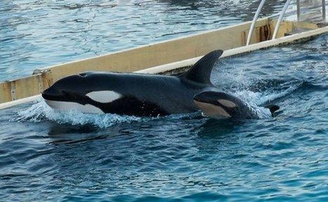 SeaWorld: New Bill May Ban Orca Shows After Shocking 'Blackfish' | Anti Captivity | Scoop.it