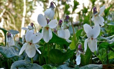 Sweet violets, a cure for melancholy written by Paul Evans @BooksPaulEvans1 Author of Herbaceous a Little Toller Monograph | Nature Flash | Scoop.it