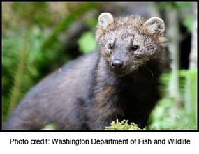 #FF Lawsuit Filed Over Feds' Denial of Endangered Species Protection to Pacific Fishers #extinction | Messenger for mother Earth | Scoop.it