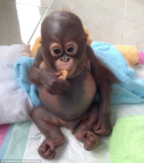 Pictures reveal neglect suffered by baby Budi as fundraising hits £50k | Orangutan Land Trust | Scoop.it