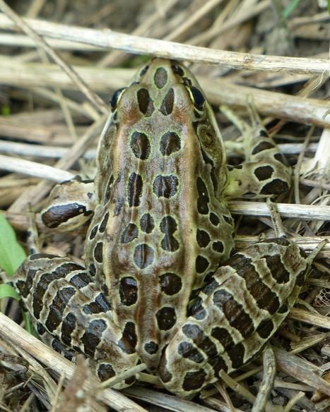 Amphibiens du Québec : Grenouille léopard - Lithobates pipiens - Rana pipiens - Northern leopard frog | Fauna Free Pics - Public Domain - Photos gratuites d'animaux | Scoop.it