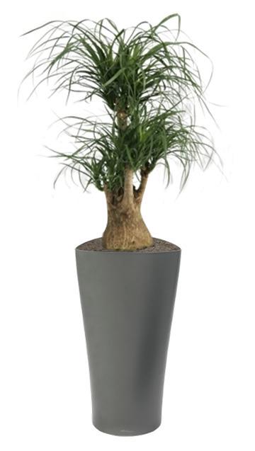 Le beaucarnea, idéal pour les bureaux de direction | La Location de plantes | Scoop.it