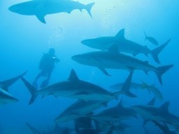 Scuba Safety: Diving with Sharks - Scuba-Blog.com | The deep | Scoop.it