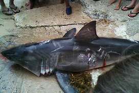 Man fined almost $20,000 for bludgeoning shark | All about water, the oceans, environmental issues | Scoop.it
