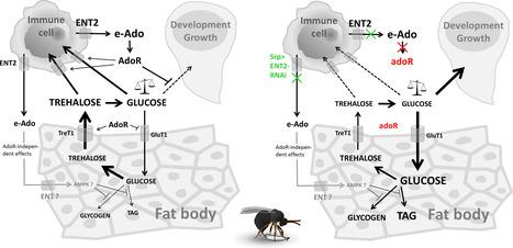 Le mystère du système immunitaire révélé par des chercheurs de Bohême du Sud | EntomoNews | Scoop.it