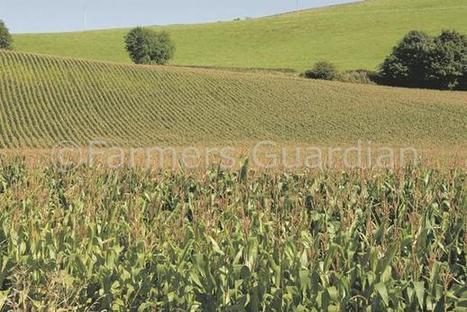 Cereal disease control: Are we fuelling fusarium ear blight? - Farmers Guardian | Molecular plan pathology | Scoop.it