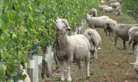 Pour faire du bon vin, mettez des poules et des moutons dans les vignes | Le Petit Jardinier Urbain | Scoop.it