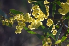 Spring blossoms probably aren't making you sneeze | Australian Plants on the Web | Scoop.it