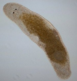 Flatworm uses 'hypodermic #penis' to inject sperm into own head #biology #science | Limitless learning Universe | Scoop.it