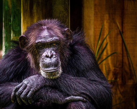 Why are apes more genetically diverse than we are? | Darwinian Ascension | Scoop.it