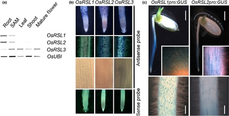 RSL class I genes positively regulate root hair development in Oryza sativa | Plant roots and rhizosphere | Scoop.it
