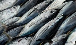 Global fish production approaching sustainable limit, UN warns | Commercial fishing - legal issues | Scoop.it